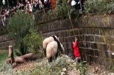 افتادن یک دختربچه به داخل محل نگهداری از خرسهای پاندا در باغ وحش