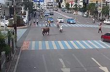 حمله یک گاو به زن موتورسوار در خیابان