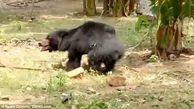 خرس قاتل به جان مرد روستایی افتاد
