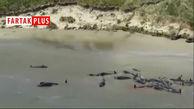 خودکشی دستهجمعی ۱۴۵ نهنگ در نیوزیلند