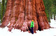 پیرترین و بلندترین درخت جهان