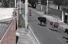 تصادف مرگبار راننده موتور با یک گاو در خیابان