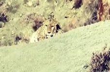 تصویربرداری از پلنگ ایرانی در پارک ملی گلستان