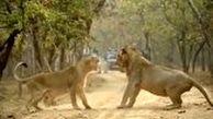 لحظه رویارویی دو شیر در پارک ملی هند