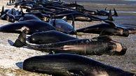 علت خودکشی نهنگ ها چیست؟